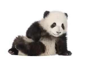 Pregnancy Hormones but No Panda Pregnancy